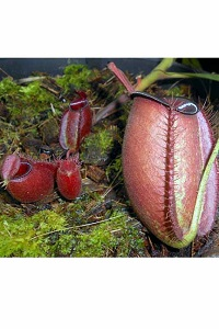 Nepenthes ampullaria 'rouge' M