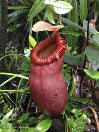 Nepenthes barcelonae