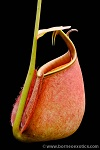 Nepenthes bicalcarata Brunei orange