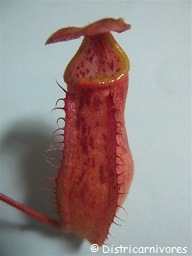 Nepenthes bokorensis
