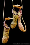 Nepenthes boschiana L