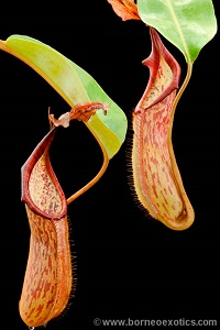 Nepenthes fusca S