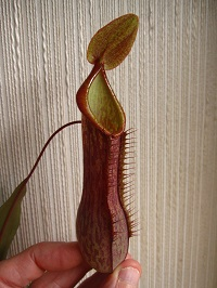 Nepenthes alata k