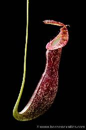Nepenthes mirabilis var. echinostoma