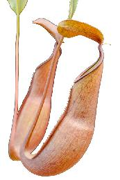 Nepenthes reinwardtiana red striped