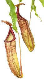 Nepenthes sp. #1 (5 plantes)
