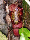 Nepenthes northiana XS