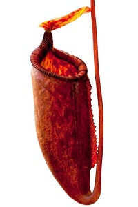 Nepenthes palawanensis