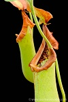 Nepenthes truncata XS