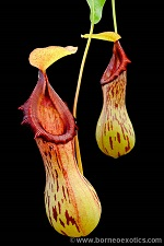 Nepenthes burkei S
